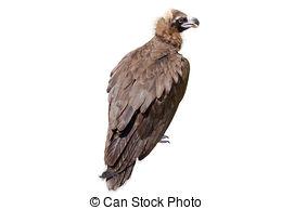 Tawny Eagle clipart Eagle  isolated Steppe white
