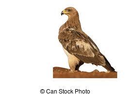 Tawny Eagle clipart (Aquila Tawny Photo Tawny rapax