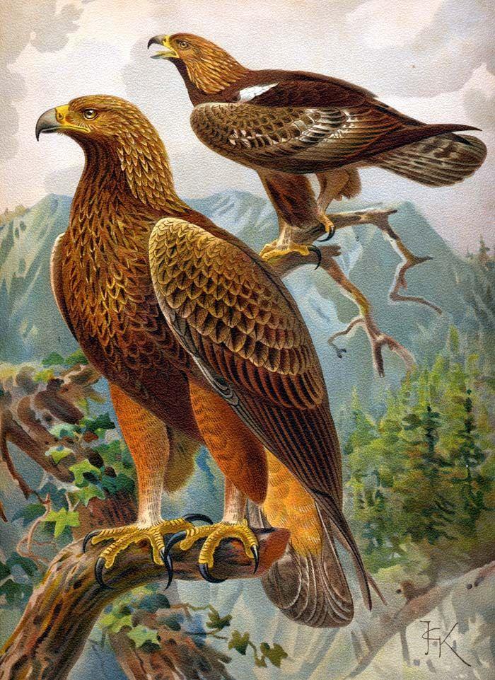 Tawny Eagle clipart Egypt ANIMALI Golden Eagle and