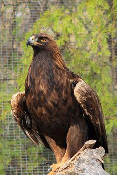 Drawn reptile golden eagle Ponca saw pair Golden in