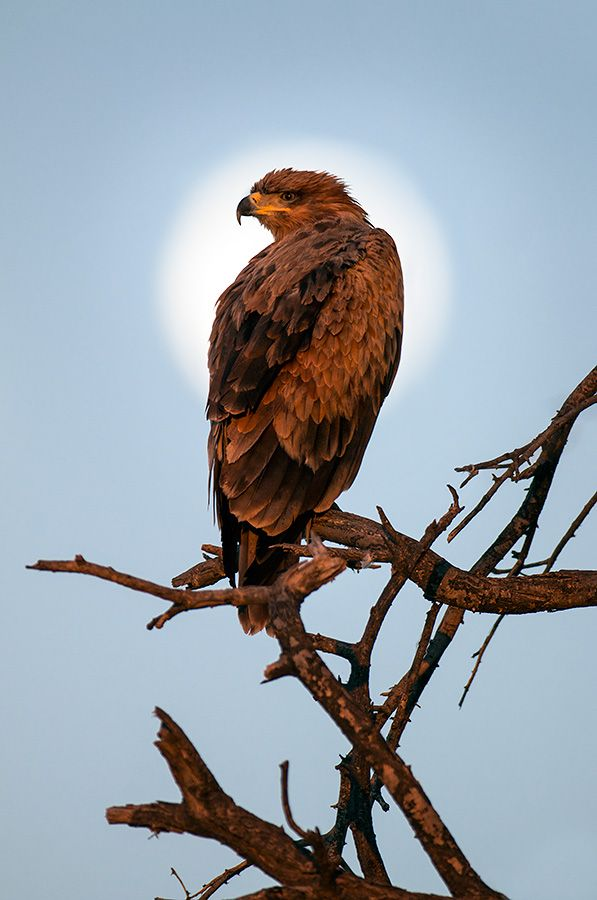 Tawny Eagle clipart Pinterest about on images Eagle