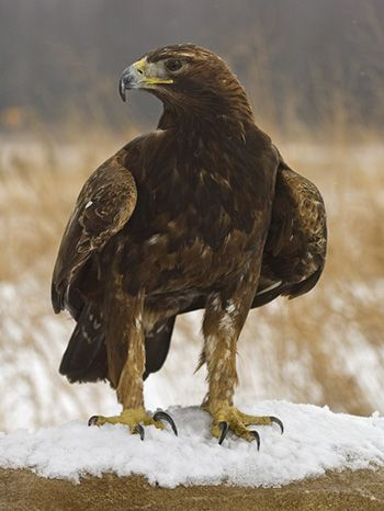 Tawny Eagle clipart Pinterest and on Eagles Golden