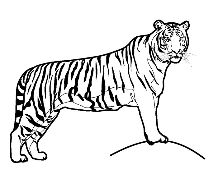 Templates  clipart tiger #11