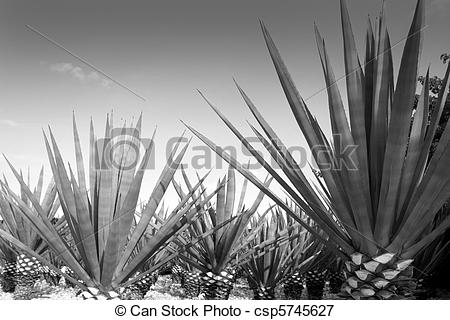 Tequila clipart Mexican plant Picture tequilana tequila