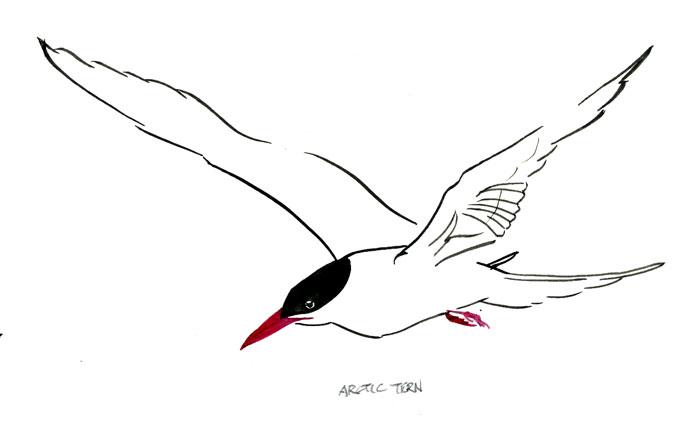 Tern clipart #5