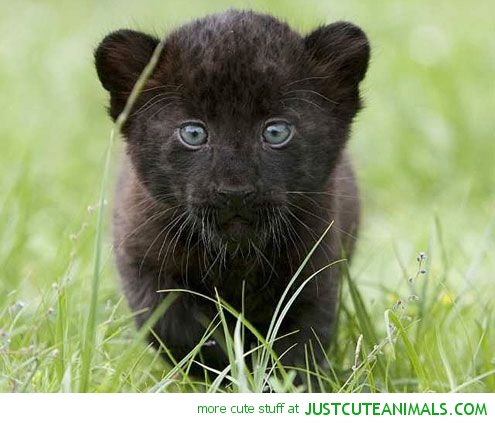 Tiger clipart baby panther Pics animals Baby pictures Clipart