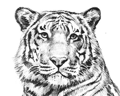 Tiiger clipart coloring book #7