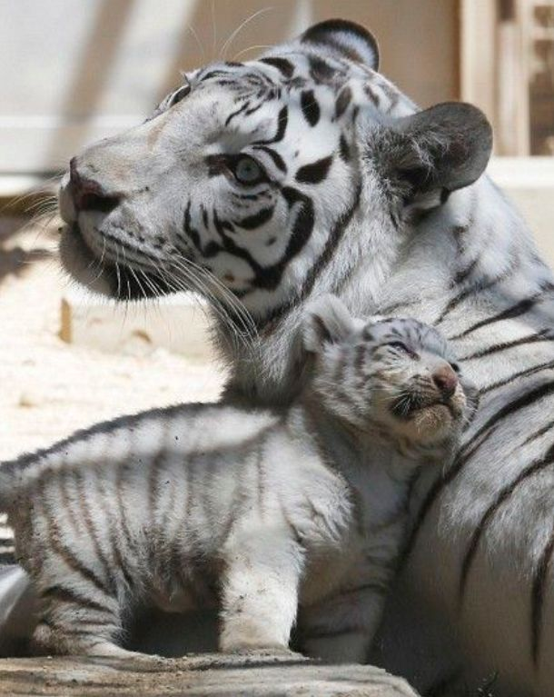 Tiger clipart mother and baby #9