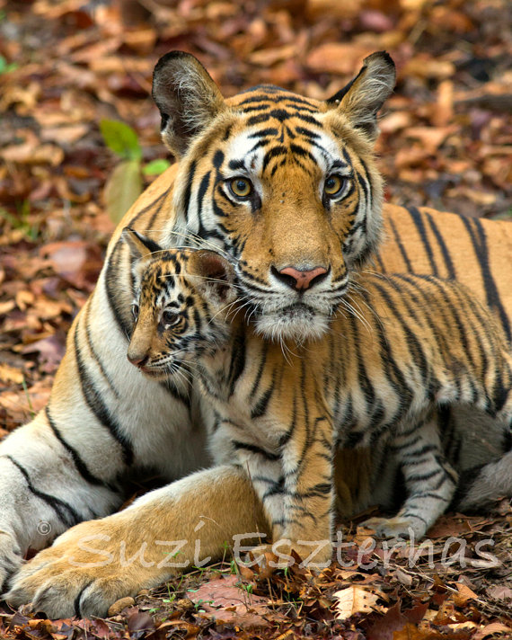 Tiger clipart mother and baby #8