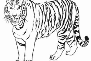 Tiger clipart siberian tiger #6