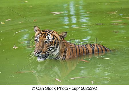 Tiiger clipart swimming #3