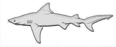 Tiger Shark clipart – com Shark and black