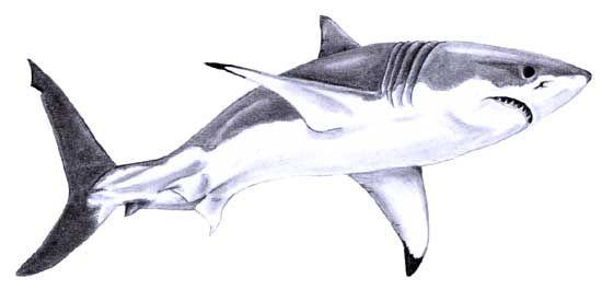 Tiger Shark clipart hand drawn #9