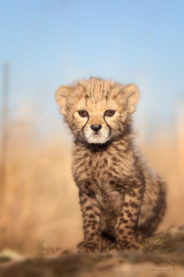 Tigres clipart baby cheetah #13