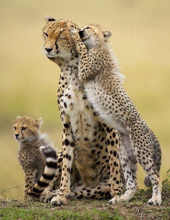 Tigres clipart baby cheetah #14