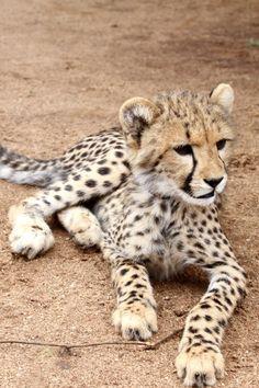 Tigres clipart baby cheetah #15