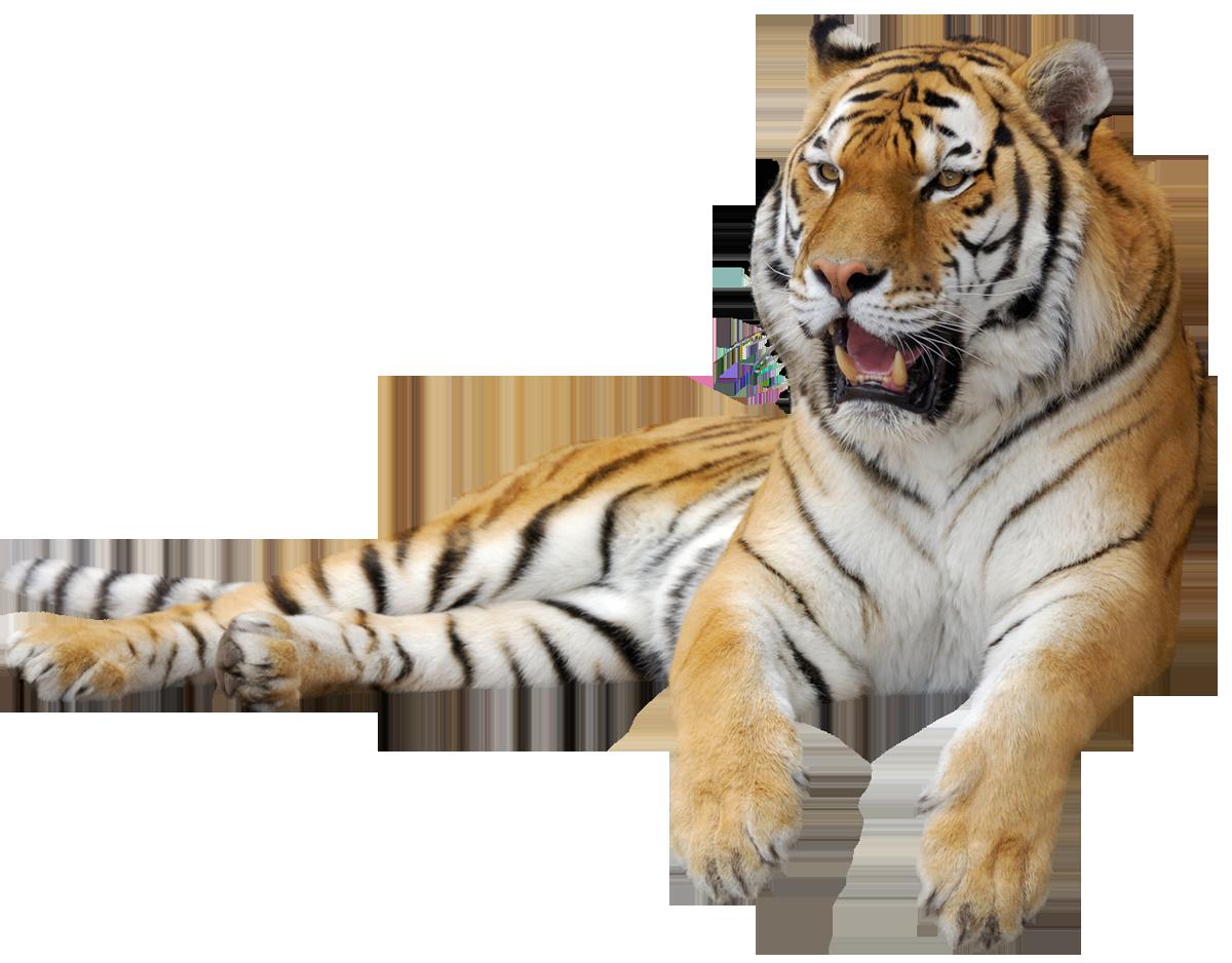 Tigres clipart real #7
