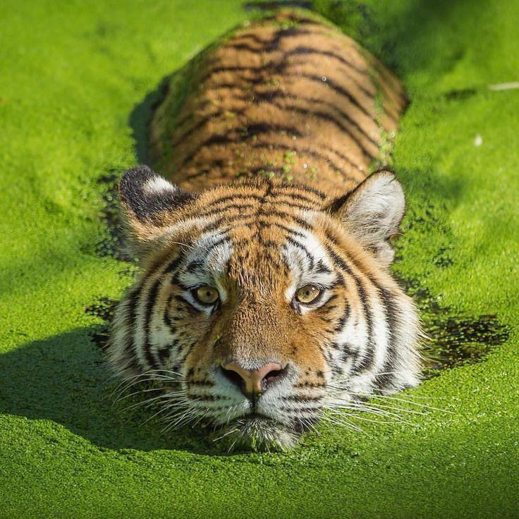 Tigres clipart swimming #14