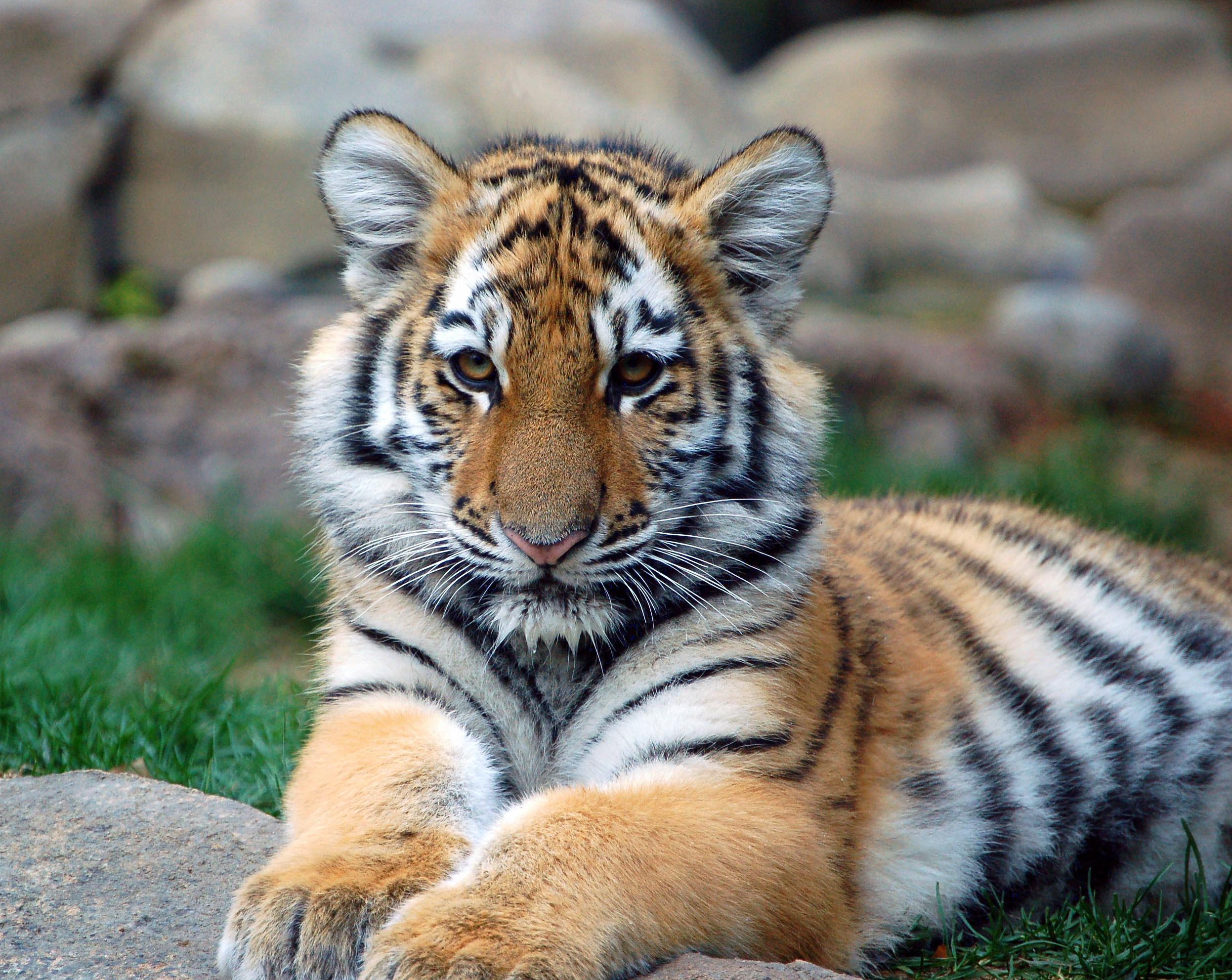Tigres clipart swimming #8