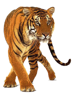 Tigres clipart transparent background #12