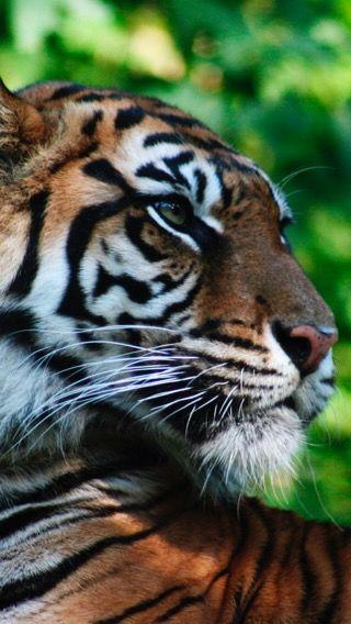 Tigres clipart zoo animal #12