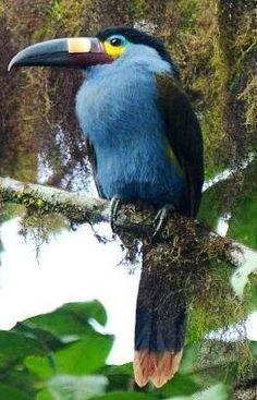 Toucanet clipart blue #6