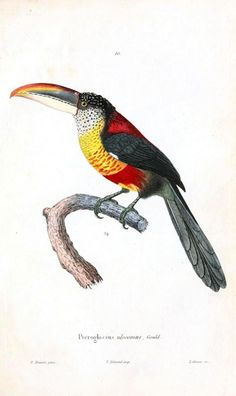 Toucanet clipart real animal #10