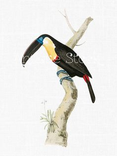 Toucanet clipart real animal #11