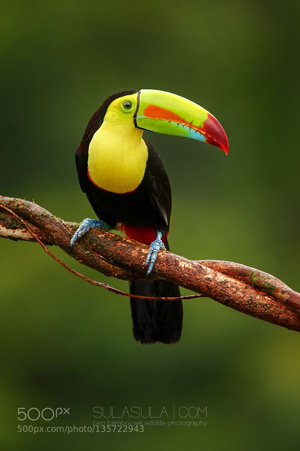 Toucanet clipart real animal #5