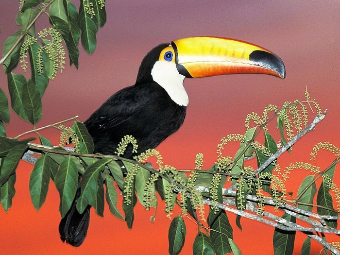 Toucanet clipart real animal #15