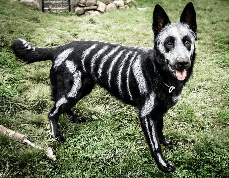 Traditional Costume clipart halloween skull Dogs on Frankenweenie Halloween of