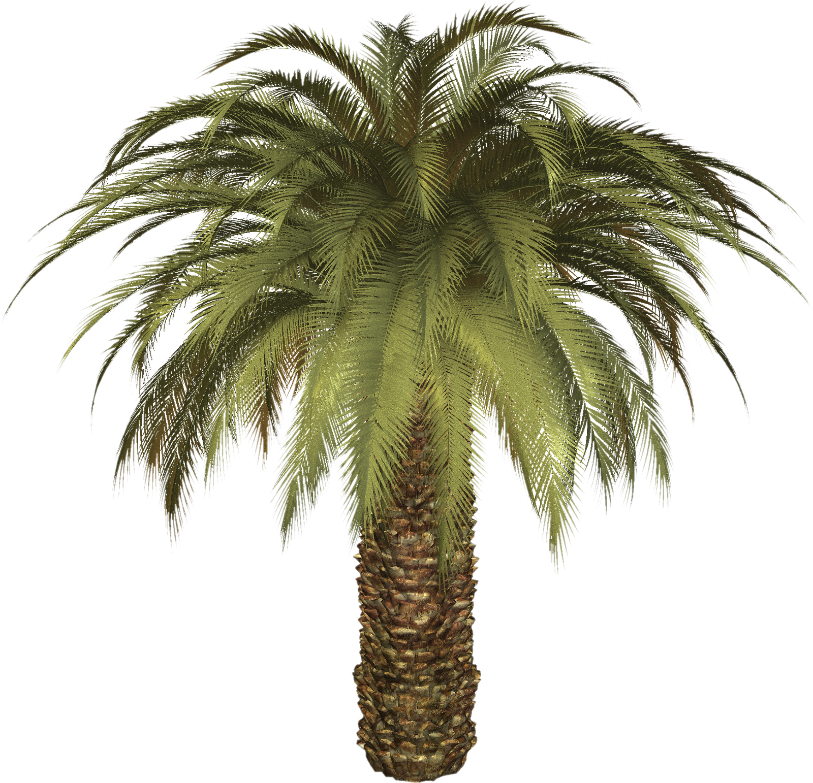 Palm Tree clipart real Free graphics graphics and and