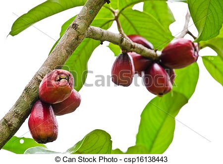 Tree clipart rose apple #9
