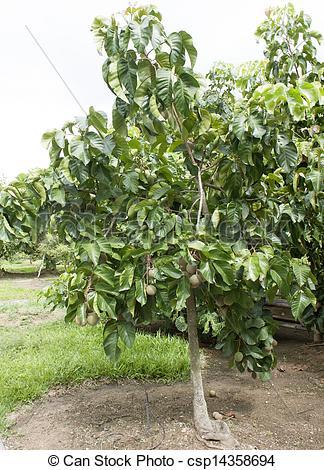 Tree clipart santol #8