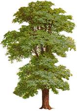 Tree clipart tall #10