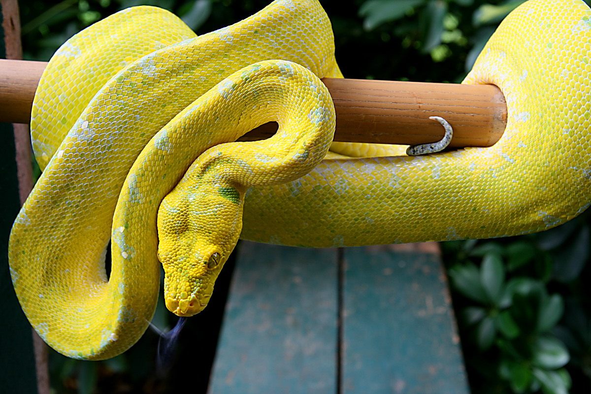Tree Python clipart african #4