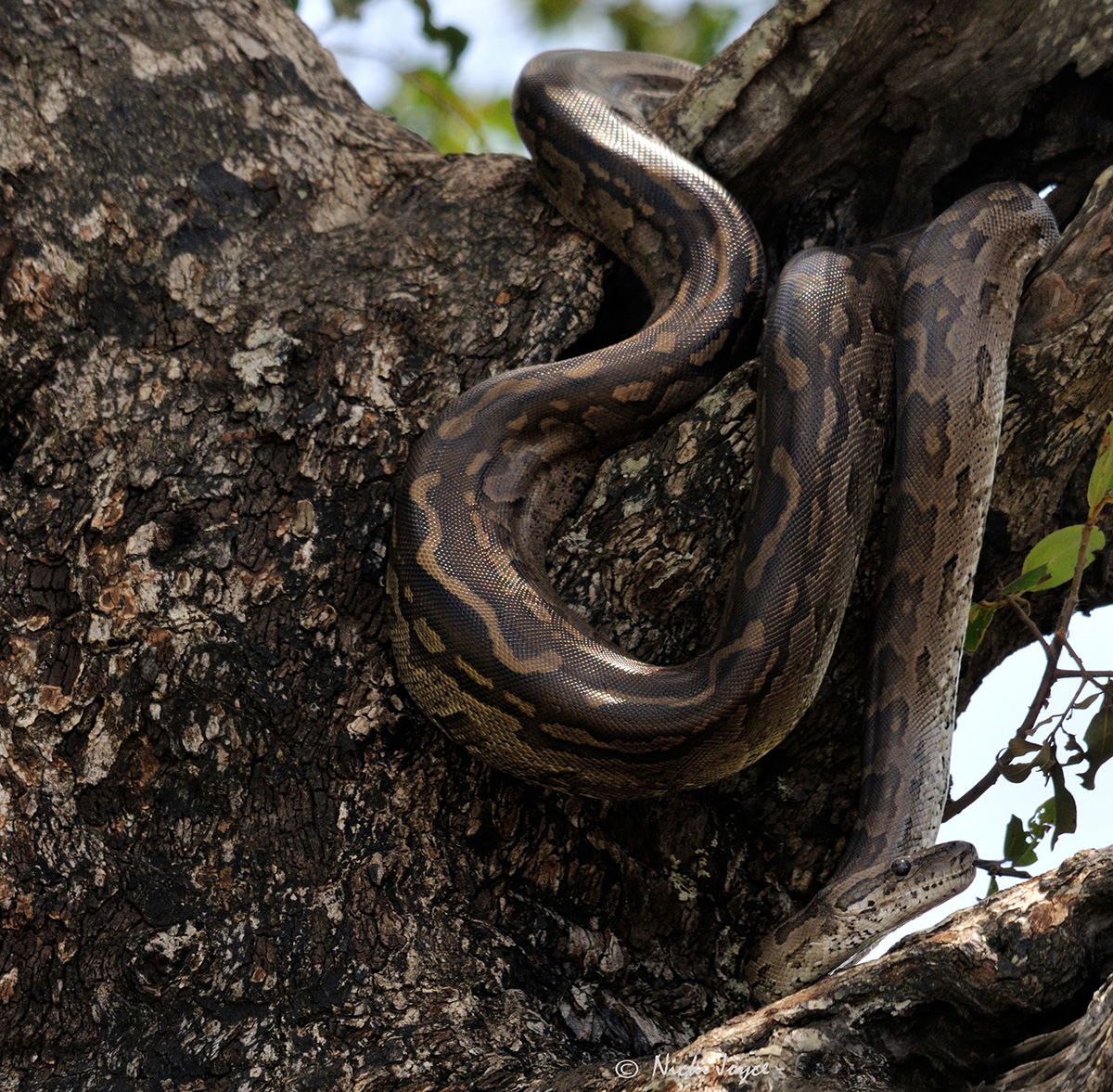 Tree Python clipart african #5