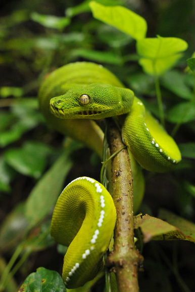 Tree Python clipart rainforest snake #4