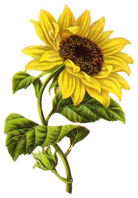 Triipy clipart sunflower Ideas Sunflower Pinterest sunflower drawing