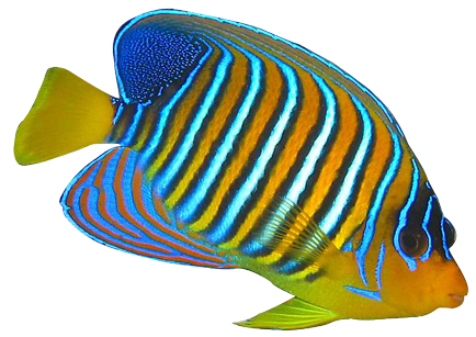 Angelfish clipart royal Fish Downloads Redcollar Fish Butterfly