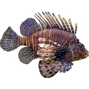 Lionfish clipart Polyvore Free Fish Art Clip