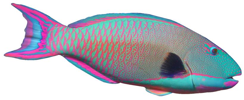 Angelfish clipart cartoon Fish Parrot Clipart Clipart Download