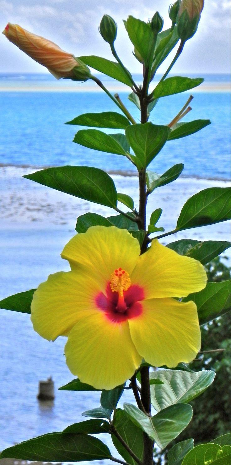 Tropics clipart yellow hibiscus #10