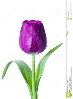 Tulip clipart purple tulip #4