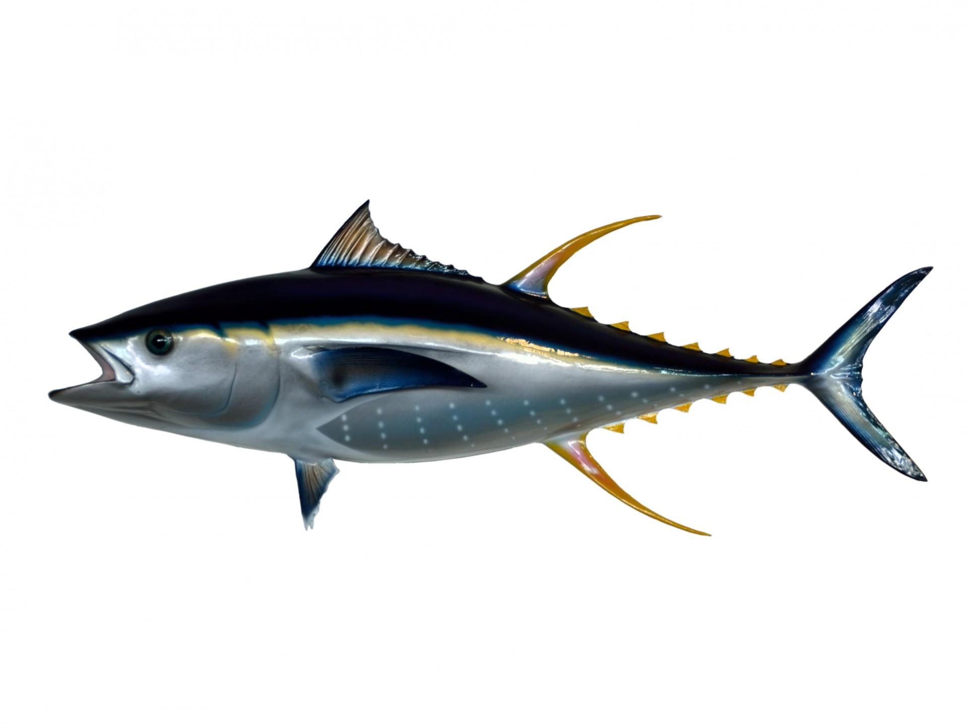 Tuna clipart Art Photo Tuna Yellowfin Tuna