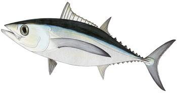 Tuna clipart big eye #14