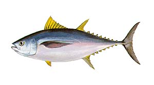 Tuna clipart big eye #10