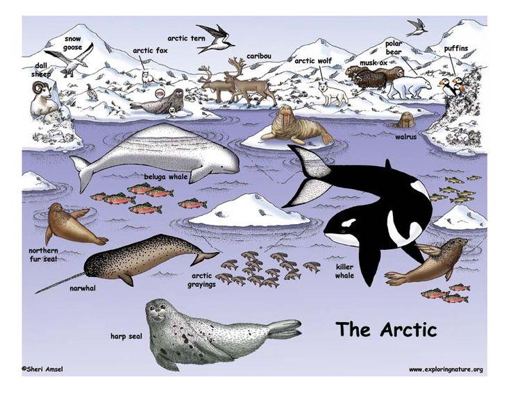 Tundra clipart arctic habitat #4