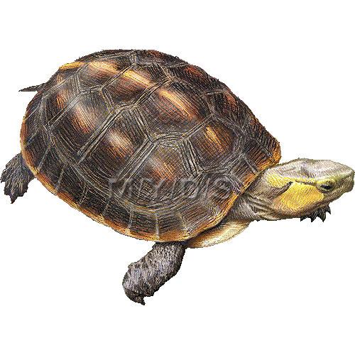 Sea Turtle clipart box turtle #13