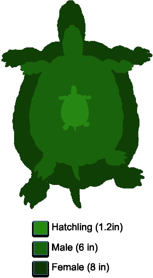 Sea Turtle clipart box turtle #15
